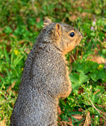Chippy Photos - Looking For my Fellow Squirrels by Ester  Rogers