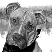 Boxer Print Framed Prints - Looking for my friend Framed Print by Kimber  Butler