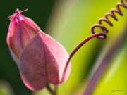 Looking Into A Pink Bud Print by Michelle Wiarda
