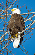Bald Eagles Prints - Looking On Print by Debra  Miller
