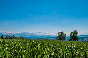 Cornfield Photos - Looking over a cornfield to the Swiss Alps by Michael Brewer