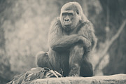 Apes Framed Prints - Looking So Sad Framed Print by Laurie Search