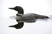 Loon Framed Prints - Loon #2 Framed Print by Wade Aiken