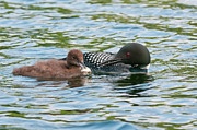 Wildlife Metal Prints - Loon and Baby Metal Print by Michael Cummings