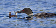 Offers Prints - Loon Offers Fish to Chick Print by Jim Block