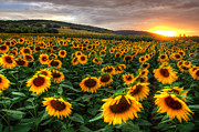 Sonnenblume Prints - Lord of the Sun Print by Steffen Gierok
