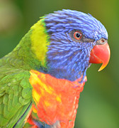 Lorikeet Photos - Lorikeet Profile by Richard Bryce and Family