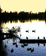 Swans Art - Lost Lagoon At Sundown by Will Borden