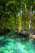 Mangrove Forest Photo Prints - Lost Lagoon On The Yucatan Coast Print by Mark E Tisdale