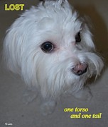 Maltese Puppy Photos - Lost by Mary Beth Landis