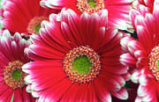 Floral Greeting Cards Photos - Lots a Daisies by Kathy Yates
