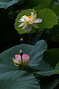 Byron Varvarigos - Lotus Beauties In White Pink Gold And Green