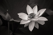 Jeff Abrahamson - Lotus Black and White...