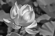 Carolyn Stagger Cokley - lotus black n white
