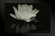 Timeless Design Prints - Lotus Black/white Print by Debra     Vatalaro