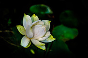 Mario Legaspi Metal Prints - Lotus Bloom Metal Print by Mario Legaspi