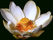 Lotus Full Bloom Prints - Lotus Blossom #2 Print by Jim Whalen
