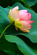 Lotus Blossom And Leaves Print by Byron Varvarigos