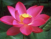 Lotus Flower Posters - Lotus Blossom Poster by Elvira Butler