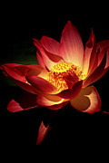Impressions Posters - Lotus Blossom Poster by Paul W Faust -  Impressions of Light