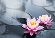 Tranquil Pond Metal Prints - Lotus blossoms Metal Print by Elena Elisseeva