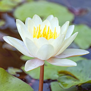 Lotus Flower 02 Print by Antony McAulay