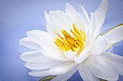 White Water Lilies Photos - Lotus flower by Elena Elisseeva