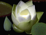 Lotus Bud Prints - Lotus Flower in White Print by Julie Palencia