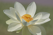 Lotus Blossoms Framed Prints - Lotus Flower Framed Print by Kim Hojnacki