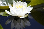 Timeless Design Prints - Lotus Flower Light Print by Debra     Vatalaro