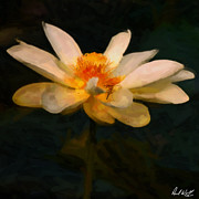 The Lotus Flower Prints - Lotus Flower Oil Print by Paul Wolf