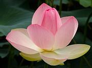 Lotus In Bloom Print by Byron Varvarigos