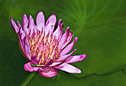 Water Lilies Art - Lotus by Marcia Colelli