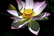 Lotus Bud Prints - Lotus of the Night Print by Douglas Barnett