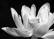 Sabrina L Ryan - Lotus Open to the Sun