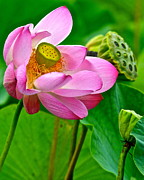 Frozen in Time Fine Art Photography - Lotus