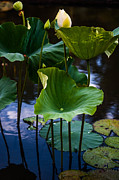 Pamplemousses Botanical Garden Prints - Lotuses in the Evening Light. Vertical Print by Jenny Rainbow