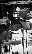 Pamplemousses Botanical Garden Prints - Lotuses in the Pond I. Black and White Print by Jenny Rainbow