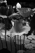 Pamplemousses Botanical Garden Prints - Lotuses in the Pond II. Black and White Print by Jenny Rainbow