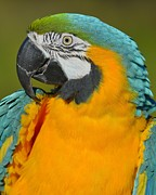 Blue And Gold Macaw Prints - Loud Print by Tony Beck