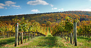 Vines Posters - Loudon County Vineyard I Poster by Steven Ainsworth