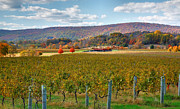 Vines Posters - Loudon County Vineyard II Poster by Steven Ainsworth