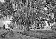 Live Oaks Digital Art - Louisiana Country monochrome by Steve Harrington