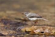 Daniel Behm Metal Prints - Louisiana Water thrush Metal Print by Daniel Behm
