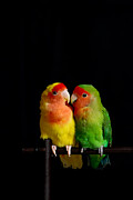 Parrot Metal Prints - Love Birds At First Sight Metal Print by Syed Aqueel