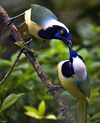 Feeding Birds Posters - Love Birds - Green Jay Poster by Laria Saunders