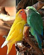 Parakeet Digital Art Posters - Love Birds Poster by Parker