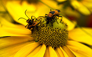 Beetle Photos - Love Bugs by Heather Applegate