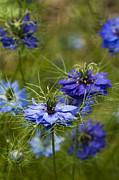 Lacy Floral Framed Prints - Love in a Mist Framed Print by Anne Gilbert