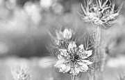 Scan Photos - Love in a Mist by Caitlyn  Grasso